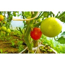 Pomidory z własnej produkcji - Kliknięcie spowoduje wyświetlenie powiększenia zdjęcia